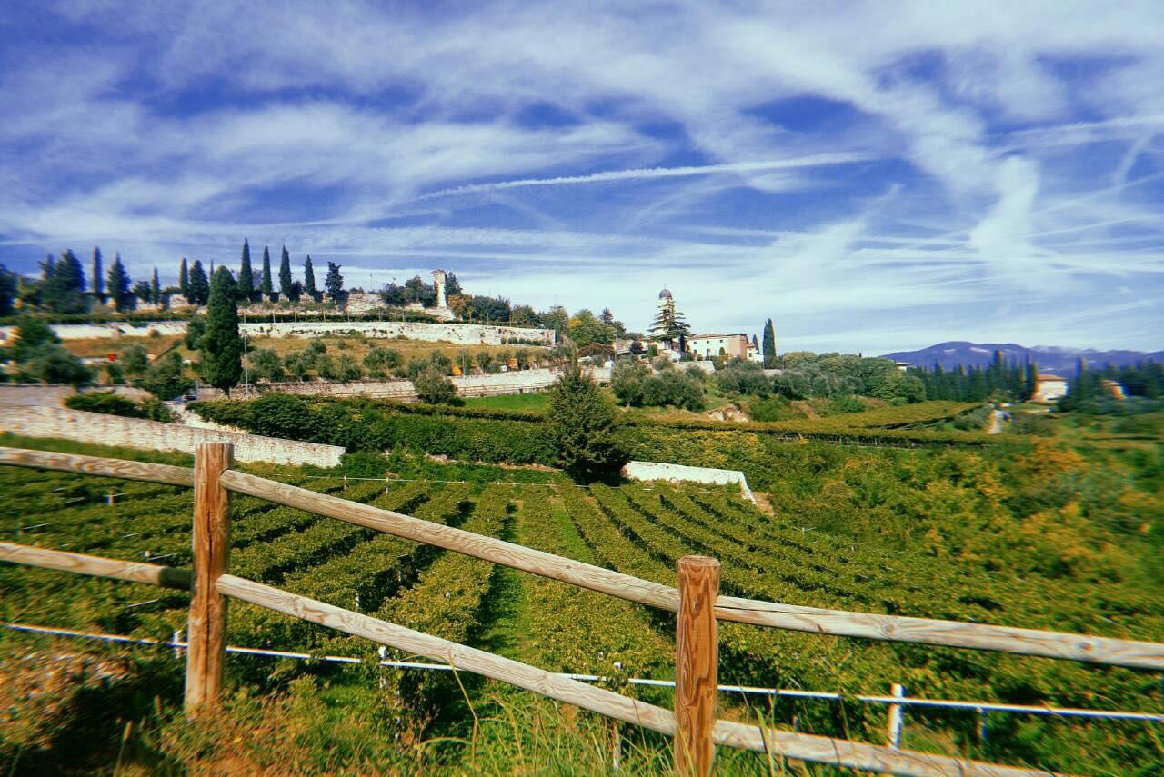 Виноградники в Італії вражають